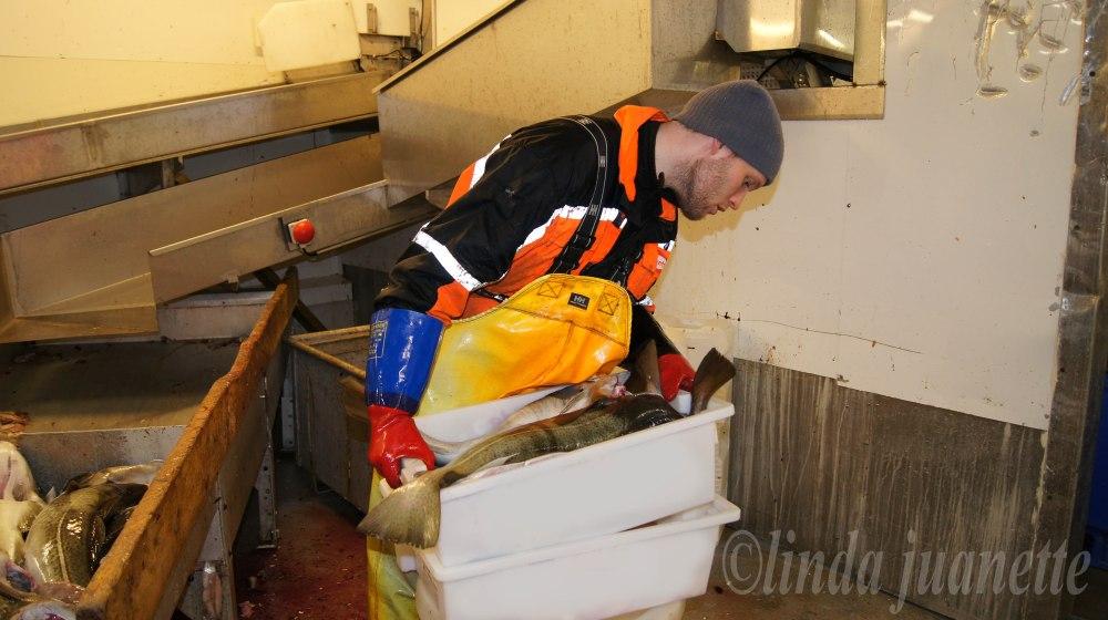 Da har fisker Peter Meyer ordnet en kasse med fisk og en kasse med lever og rogn. Det er klart for å dra hjem og lage mølje.