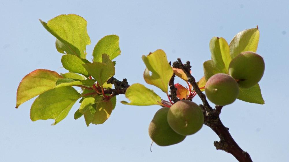 Fruktrærne bugnet over alt. Skulle gjerne hatt noen her i nord også :-)