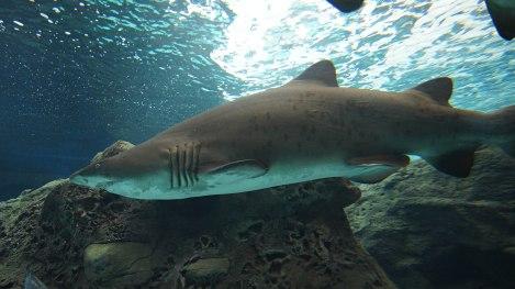 Alle haiene ved Cret Aquarium er populære fotoobjekter, naturlig nok. Spennende, og godt det er tykt glass imellom oss :-)