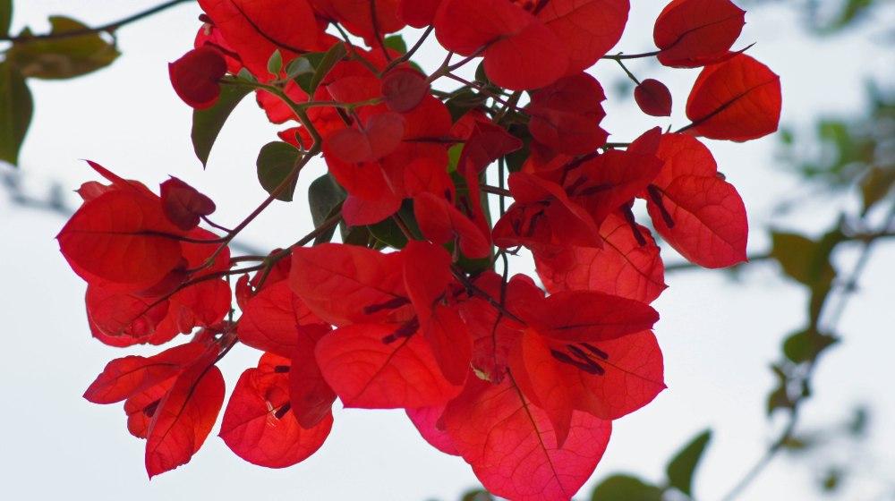 Klatretrær med røde blomster dekket de fleste husvegger nå på våren. Utrolig vakkert.