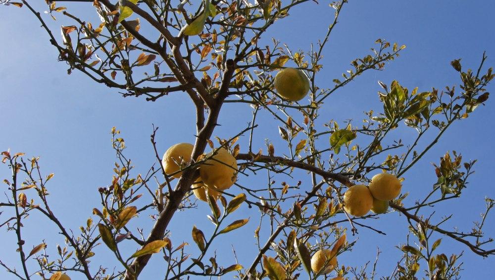 Sitrontre i hagen, det var det man skulle hatt når man er storforbruker av frukten :-)