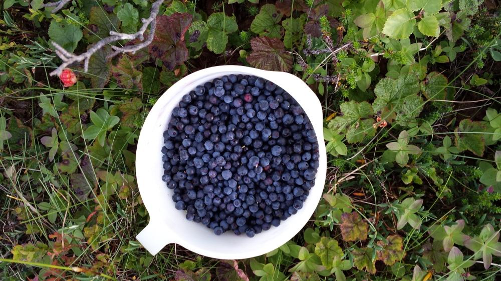 Tenk så heldig vi er som kan høste så mye deilig bær i skogen om høsten!